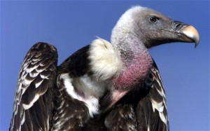 'Vulture spying for Israel' caught in Sudan